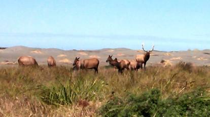 redwood elk